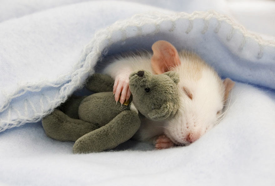 cute-rat-with-teddy-bear