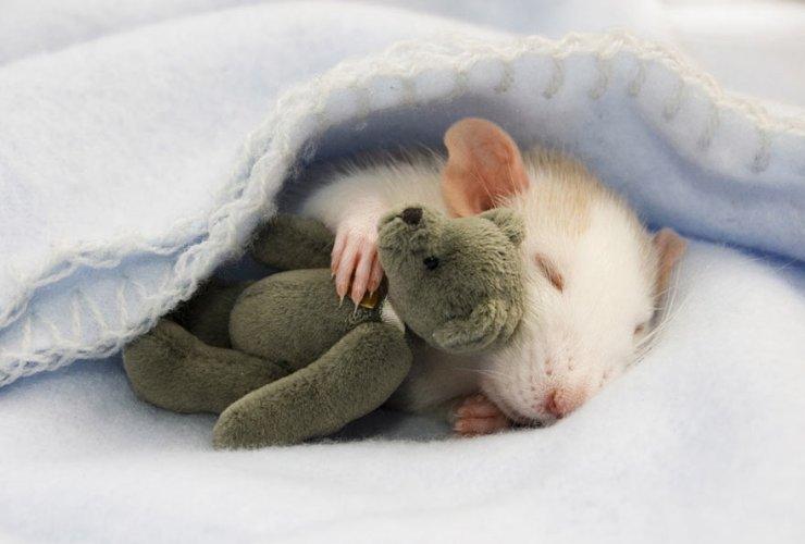 cute-rat-with-teddy-bear