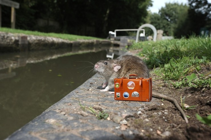 rat-in-rain-with-suitcase
