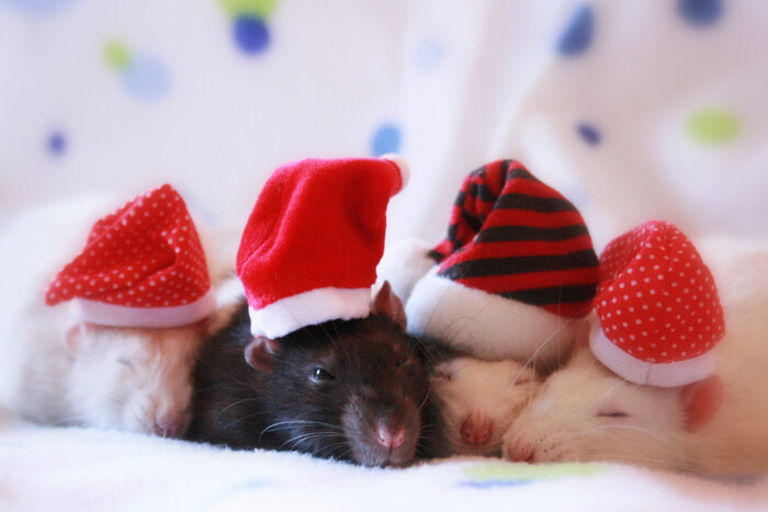 A-very-10Eighty-Christmas-Rats-Pests